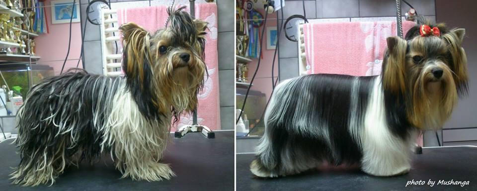 Related Pictures biewer biewer yorkshire terrier a la pom pon rare